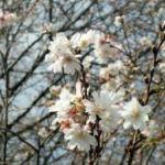 この時期と4月の年2回咲くフユザクラ