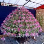 毎年この時期に催される菊の大展示会。