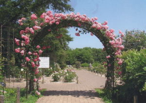 中土井さん  『薔薇のアーチ』  神代植物公園バラ園入口