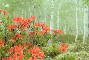 水島さん   『白樺林に咲くつつじ』  八千代高原