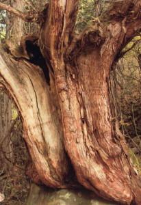 水島さん  『森の主』   蓼科新大滝の森