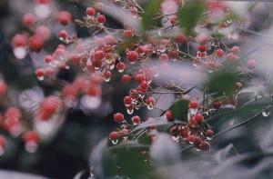 七澤(の)さん 『雨後の南天』 自宅の庭