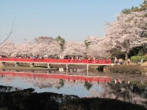 岩槻城址公園の満開の桜