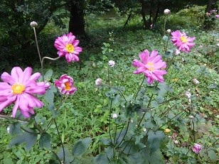 シウメイギク(秋明菊)