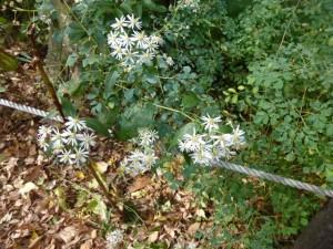 いま シロヨメナが花盛り