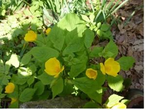 美しい花びらが4枚のヤマブキソウ(ケシ科)