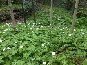 ニリンソウの大群落(花が1輪や3輪のこともある)