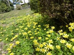 花びらが黄色く輝くリュウキンカ