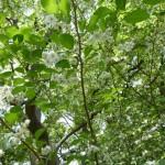 エゴノキの白い清楚が花です