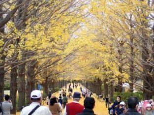 <黄葉最盛期には「黄金のトンネル」と称される「かたらいのイチョウ並木」。約100本の自然樹形が続く。>